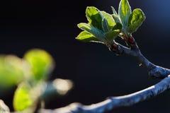 Grünblätter eines jungen Apfelbaums in der Hintergrundbeleuchtung einer Frühlingssonne Grün in der Hintergrundbeleuchtung Lizenzfreies Stockbild