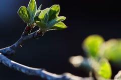 Grünblätter eines jungen Apfelbaums in der Hintergrundbeleuchtung einer Frühlingssonne Grün in der Hintergrundbeleuchtung Lizenzfreie Stockfotografie