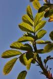 Grünblätter eines jungen Aprikosenbaums in der Hintergrundbeleuchtung einer Frühlingssonne gegen einen blauen Himmel Lizenzfreies Stockfoto