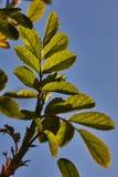 Grünblätter eines jungen Aprikosenbaums in der Hintergrundbeleuchtung eines sprin Stockfotografie