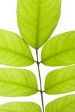 Grünblätter getrennt auf weißem Hintergrund Stockfoto
