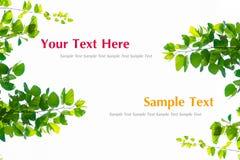 Grünblätter getrennt auf weißem Hintergrund Stockfotografie