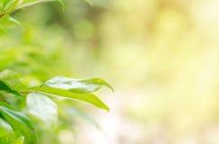 Grünblätter haben einen Hintergrund oder eine Tapete stockbild
