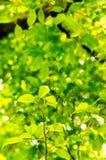 Grünblätter im Garten Stockbild