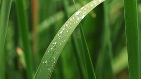 Grünblätter im Garten Gesättigtes Grün Wassernasen auf Blättern, Zeitlupe, Makro stock video footage