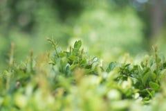 Grünblätter im grünen Wald lizenzfreies stockbild