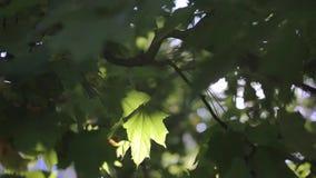 Grünblätter im leuchtenden Sonnenlicht stock video