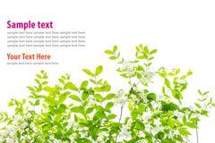 Grünblätter lokalisiert mit weißer Blume auf weißem Hintergrund Stockbild
