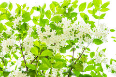 Grünblätter lokalisiert mit weißer Blume auf weißem Hintergrund Lizenzfreies Stockfoto