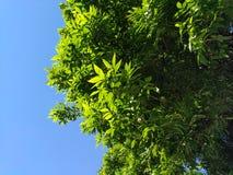 Grünblätter mit blauem Himmel lizenzfreies stockbild
