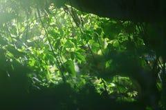 Grünblätter mit einem Glühen des Lichtes Lizenzfreie Stockbilder