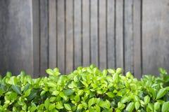 Grünblätter mit hölzernem Hintergrund Stockfoto