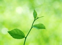 Grünblätter mit natürlichem Lizenzfreie Stockfotografie