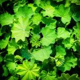 Grünblätter mit Regentropfen Lizenzfreie Stockfotos