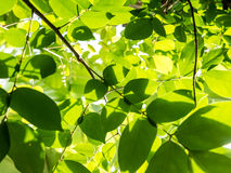 Grünblätter mit Sonnenlicht Lizenzfreies Stockfoto