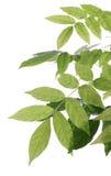 Grünblätter mit Tautropfen Stockbild