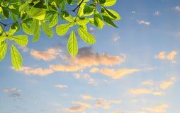 Grünblätter mit unscharfem Hintergrund des blauen Himmels Stockbilder
