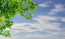 Grünblätter mit unscharfem Hintergrund des blauen Himmels Lizenzfreie Stockbilder