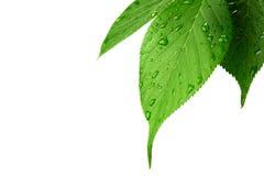 Grünblätter mit Wassertröpfchen auf Weiß Lizenzfreie Stockfotos