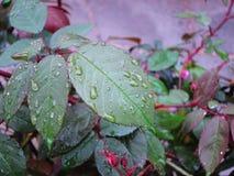 Grünblätter mit Wassertropfen Stockfotos