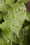 Grünblätter nach einem Regen Lizenzfreie Stockfotografie