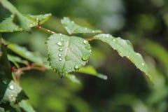 Grünblätter nach Regen Lizenzfreie Stockfotos