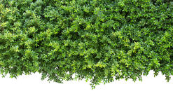 Grünblätter oder grüne Hecke auf Weiß stockfotos