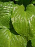 Grünblätter, Regentropfen auf Blättern Stockfoto