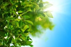 Grünblätter und blauer Himmel Stockfotografie