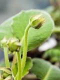 Grünblätter und eine Knospenblumennahaufnahme Stockfotos