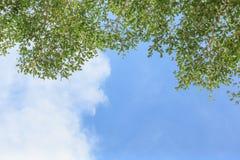 Grünblätter und Hintergrund des blauen Himmels Stockfotografie