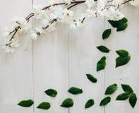 Grünblätter und -kirschblüte verzweigen sich auf den weißen hölzernen Schreibtisch auf Hintergrund Flache Lage, Draufsicht Lizenzfreies Stockfoto
