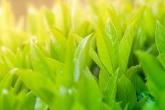 Grünblätter und -knospen mit Sonnenlicht Stockfoto