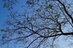 Grünblätter und -niederlassung auf blauem Himmel Lizenzfreie Stockbilder