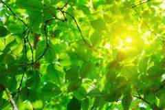 Grünblätter und -sonne Lizenzfreie Stockfotos