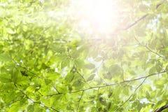 Grünblätter und -sonnenschein Stockbilder