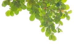 Grünblätter und -zweige lizenzfreies stockfoto