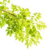 Grünblätter und -zweige lizenzfreies stockbild