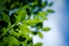 Grünblätter unter dem blauen Himmel Lizenzfreie Stockfotografie