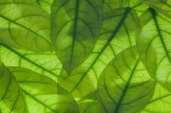 Grünblätter verwischten Hintergrund Stockfoto