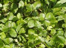 Grünblätter von Erdbeeren Stockbild