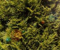 Grünblätter von Kiefernnadeln Stockfotografie