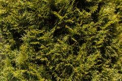 Grünblätter von Kiefernnadeln Lizenzfreies Stockbild