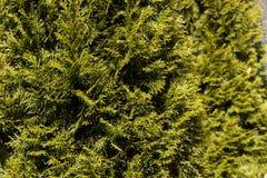 Grünblätter von Kiefernnadeln Stockfoto