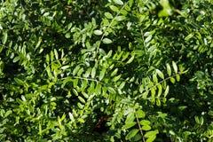 Grünblätter von Lonicera pileata Stockbilder