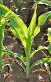 Grünblätter von Mais auf einem Gebiet Lizenzfreies Stockbild