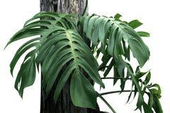 Grünblätter von monstera Isolat auf Weiß stockbild