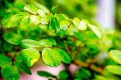 Grünblätter von stiegen mit Wassertropfen Lizenzfreies Stockfoto