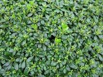 Grünblatt- und -jungeentweichen Stockfotos