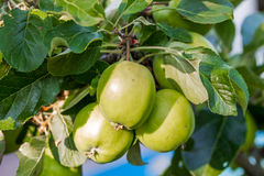 Grüne Äpfel Stockfotografie